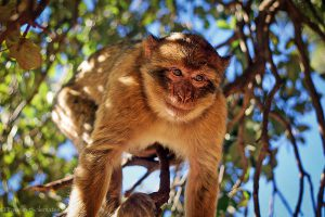 Barbary Macaque (Middle Atlas Mountains)